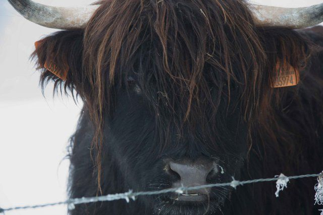 Isolde | Highland Cow